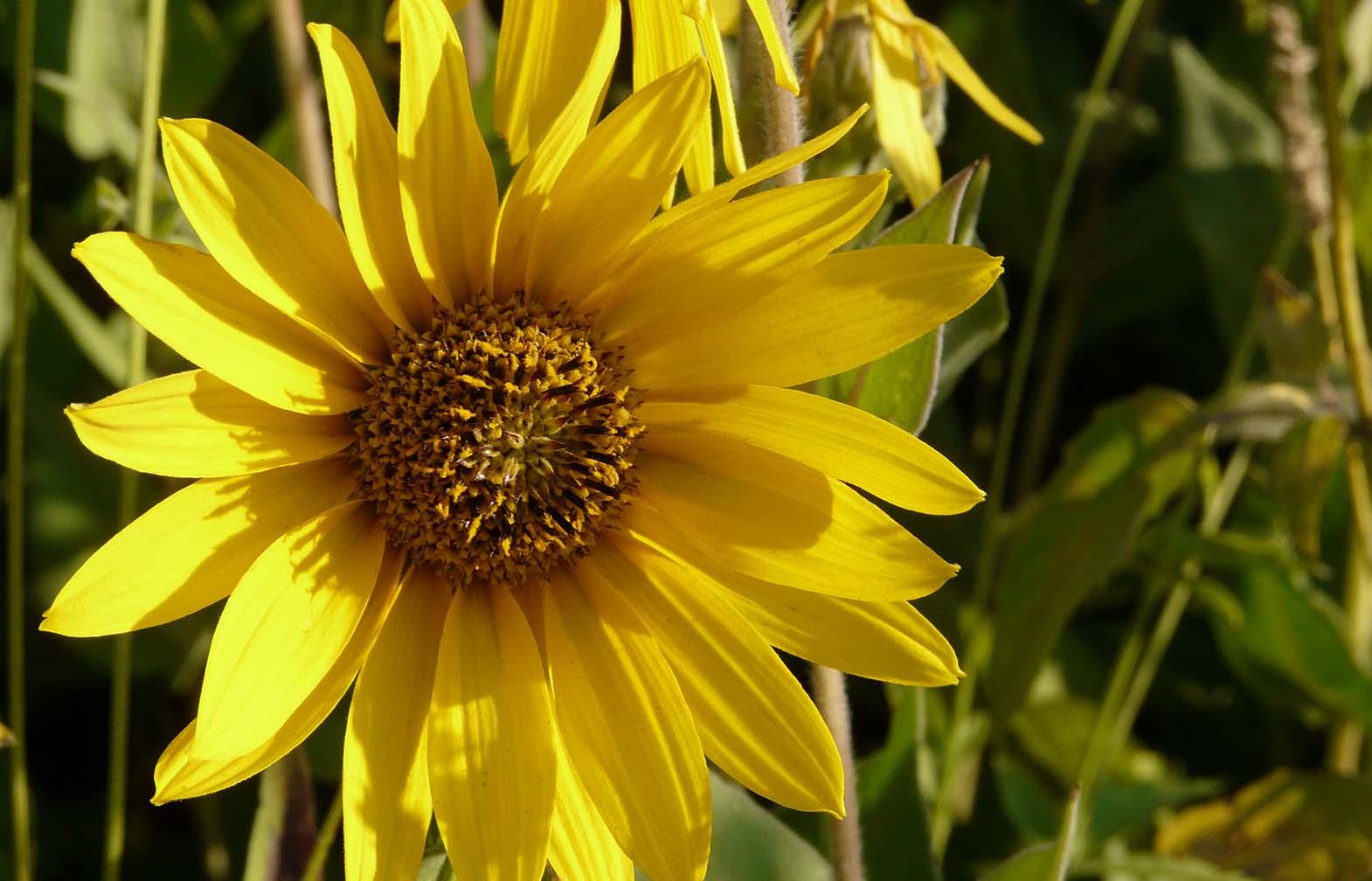 Sunflower_sara