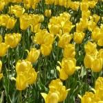 Sezenyourlife Tulips