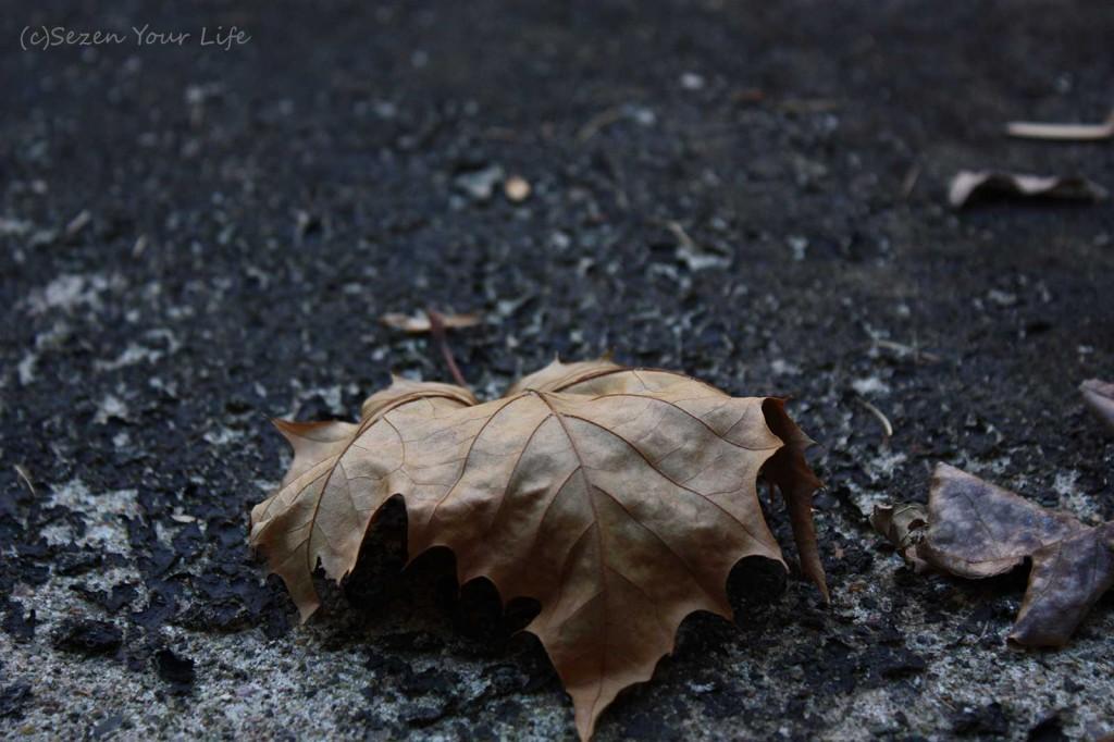 Leaf11711bySarahFranzen